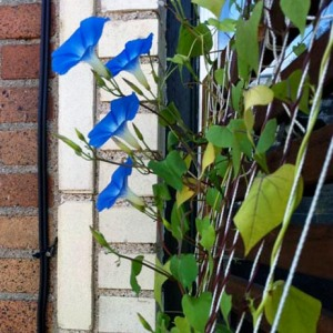 Bright blue flowering morning glories climbing up string/twine lattice with brickwork in background.